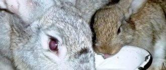 Почему кролик не ест и не пьет: что делать и как лечить