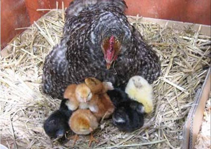 Сколько дней курица высиживает яйца: описание, фото- и видеообзор