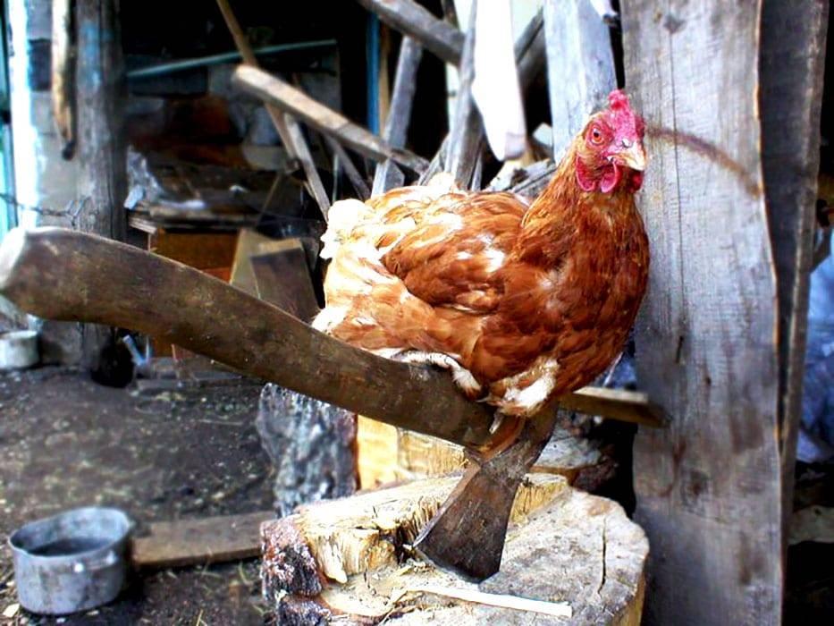 Как забить петуха в домашних условиях, как убить курицу?