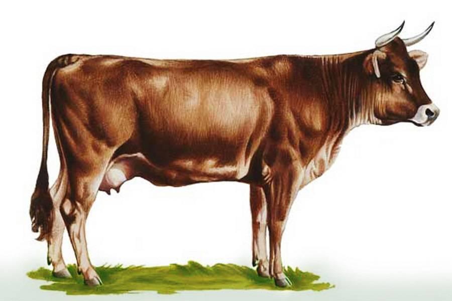 Швицкая порода коров (31 фото): характеристика бурых быков, выведенных в кантоне швиц, плюсы и минусы швицкой породы крс, описание телят