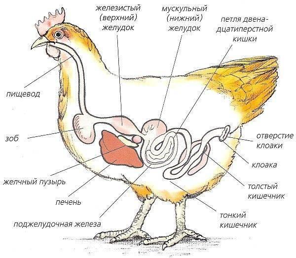 Проблема забивания зоба у курицы