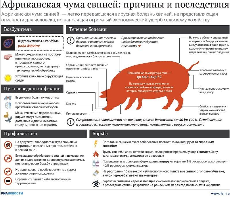 Классическая чума свиней: признаки и симптомы