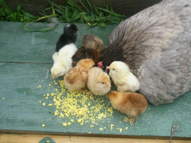 Курица вывела цыплят: что делать, как за ними ухаживать?