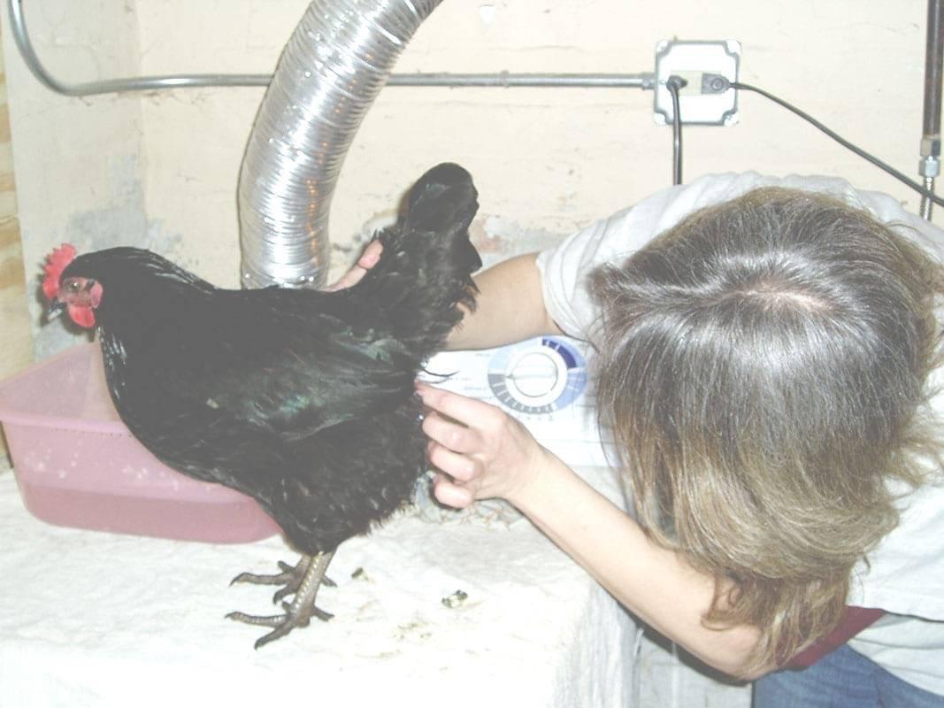 У курицы выпал яйцевод: что делать