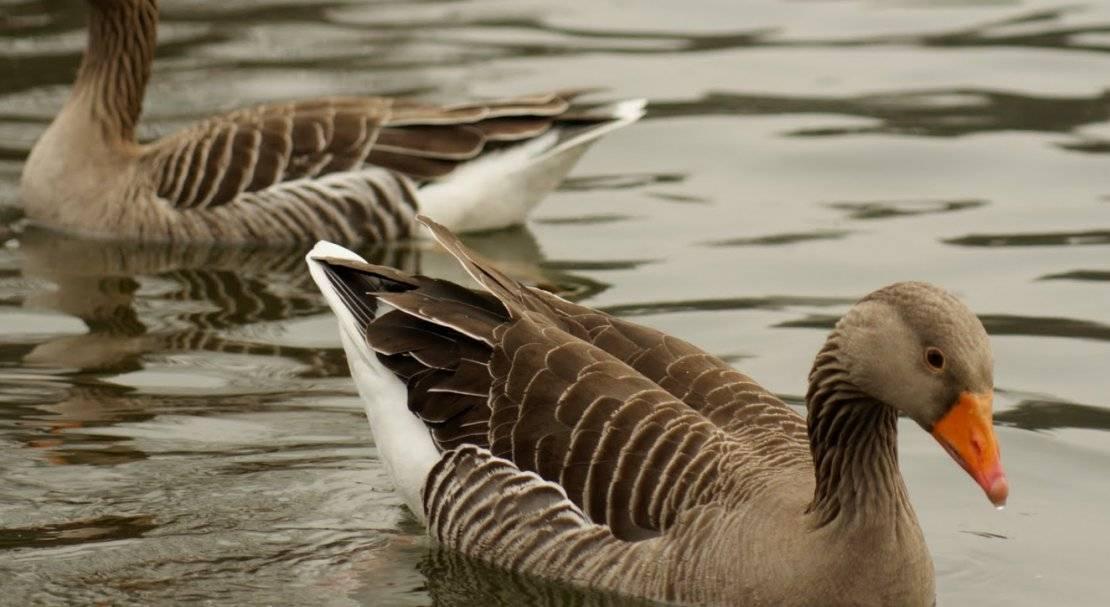 Знакомимся с холмогорскими гусями