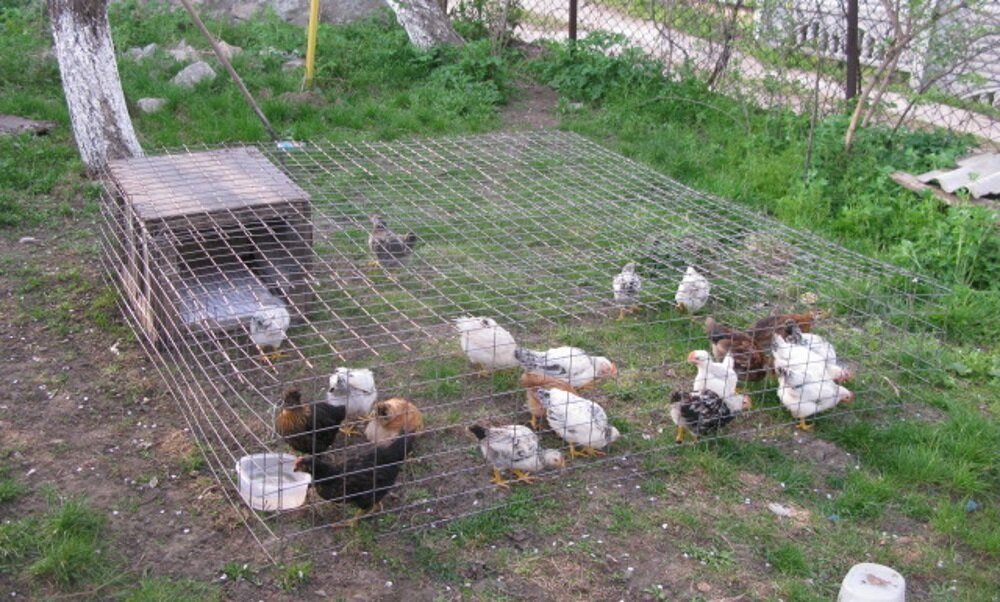 Выгул для кур: вольный или переносной солярий для цыплят?