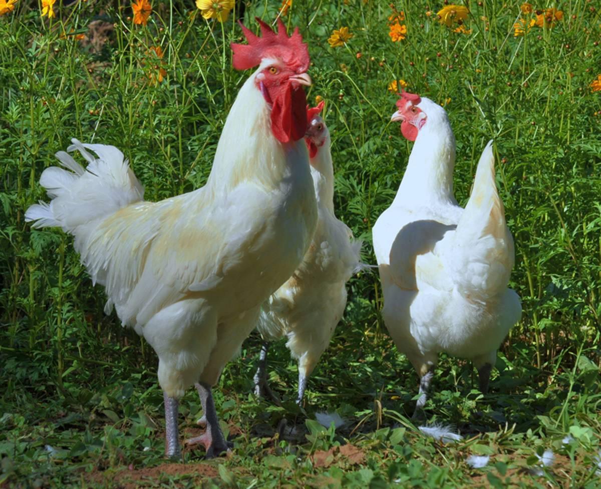 Бресс галльская порода кур - описание породы, продуктивность, содержание и уход, разведение