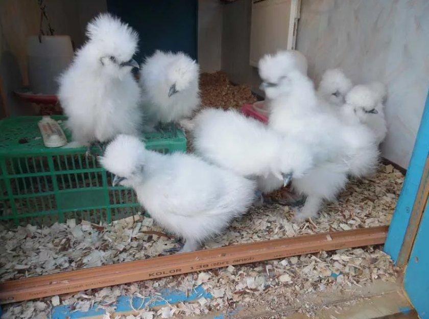 Китайская шелковая курица — характеристики породы
