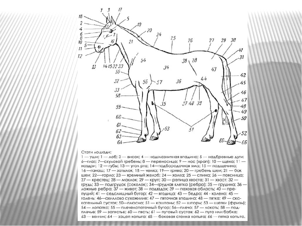Лошади: описание, особенности, виды, езда на лошадях