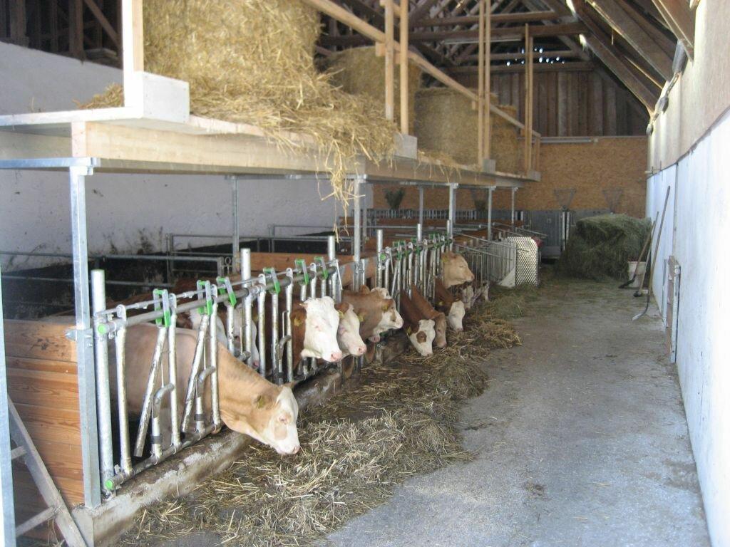 Как построить сарай для быков и коров самостоятельно