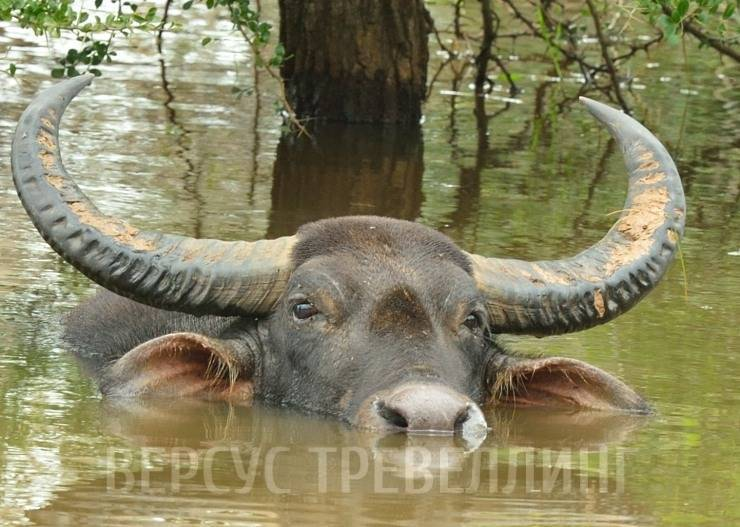 Все об индийском (азиатском, водяном) буйволе арни: подробная информация