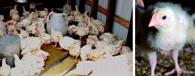 Кормление цыплят бройлеров, уход за ними в домашних условиях и болезни от неправильного рациона, особенности питания породы в разном возрасте