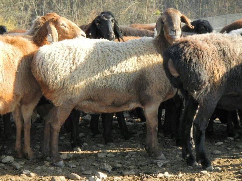 Описание гиссарской породы овец: характеристики, преимущества и недостатки, особенности ухода и размножения