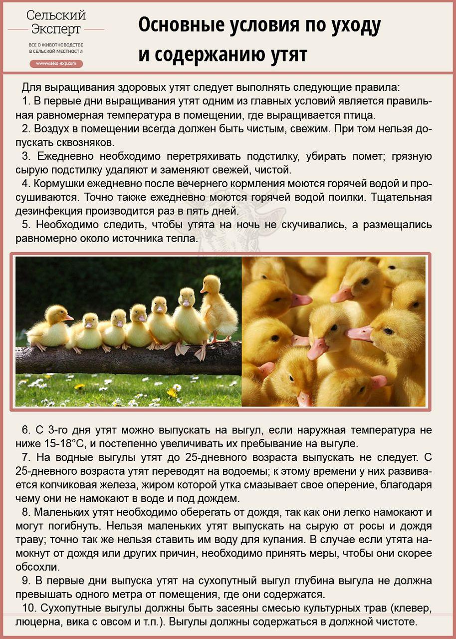 Утка-гусь (мулард): описание и характеристика породы, содержание