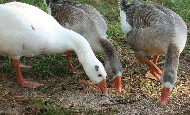 Кормление гусей: нормы, рацион для зимы, весны