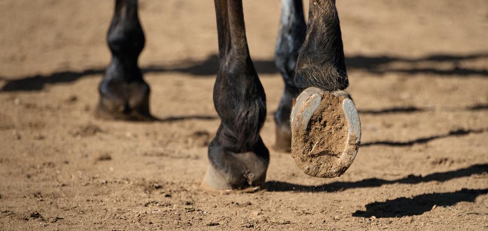 Краткий курс анатомии лошади. часть 2: кожа и копыта