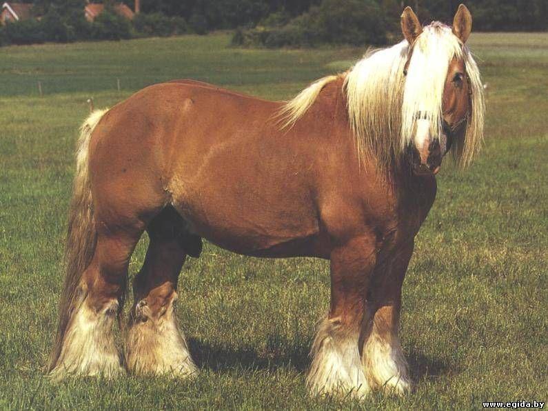 Лошади тяжеловозы — тяжелая артиллерия конного мира