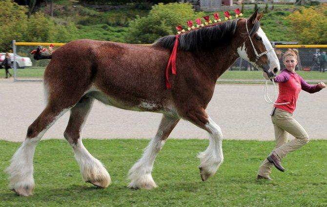 Обзор породы лошадей советский тяжеловоз