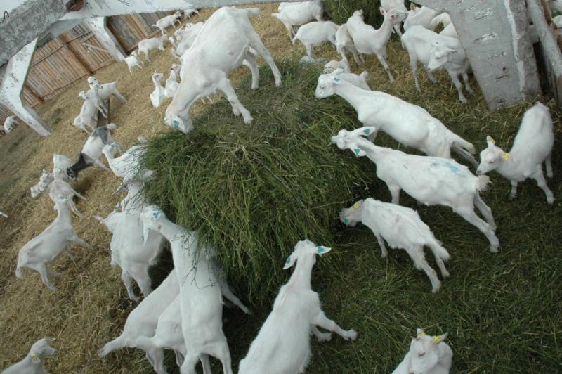 Разведение коз как бизнес в домашних условиях