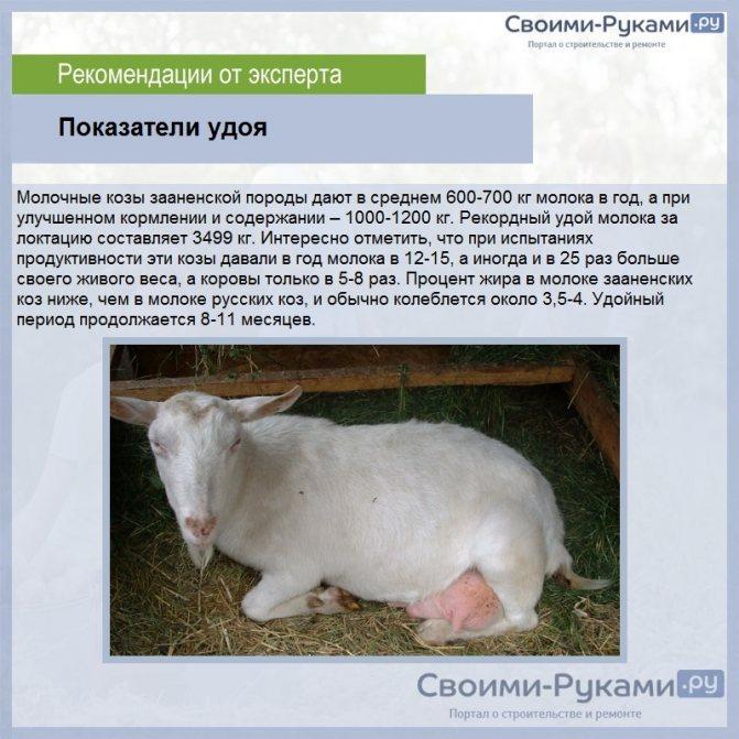Как выбрать молочную козу и козленка при покупке - какую породу взять для молока и мяса без запаха - самые продуктивные дойные виды - moloko-chr.ru