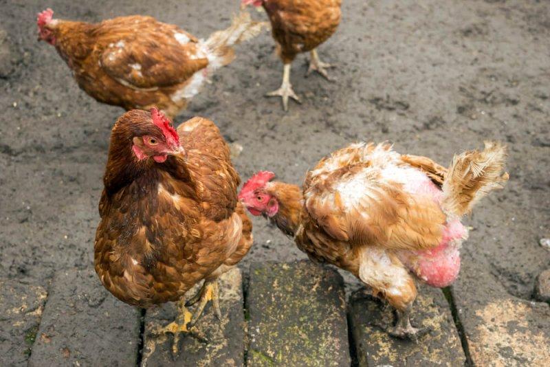 Почему выпадают перья у кур на спине, попе, шее, хвосте — что делать