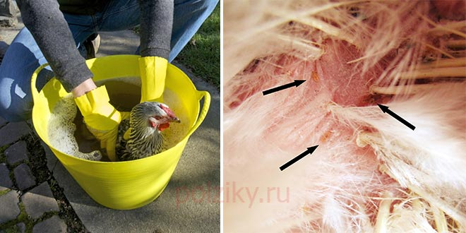 Как избавить кур и цыплят от пероеда, блох, вшей (чем обработать, лечение)