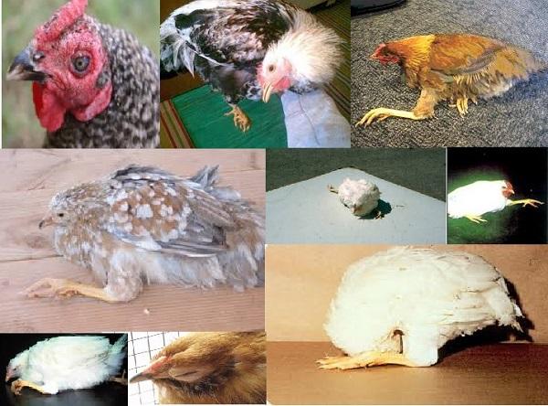 Болезнь пастереллез у кур: симптомы и методы борьбы
