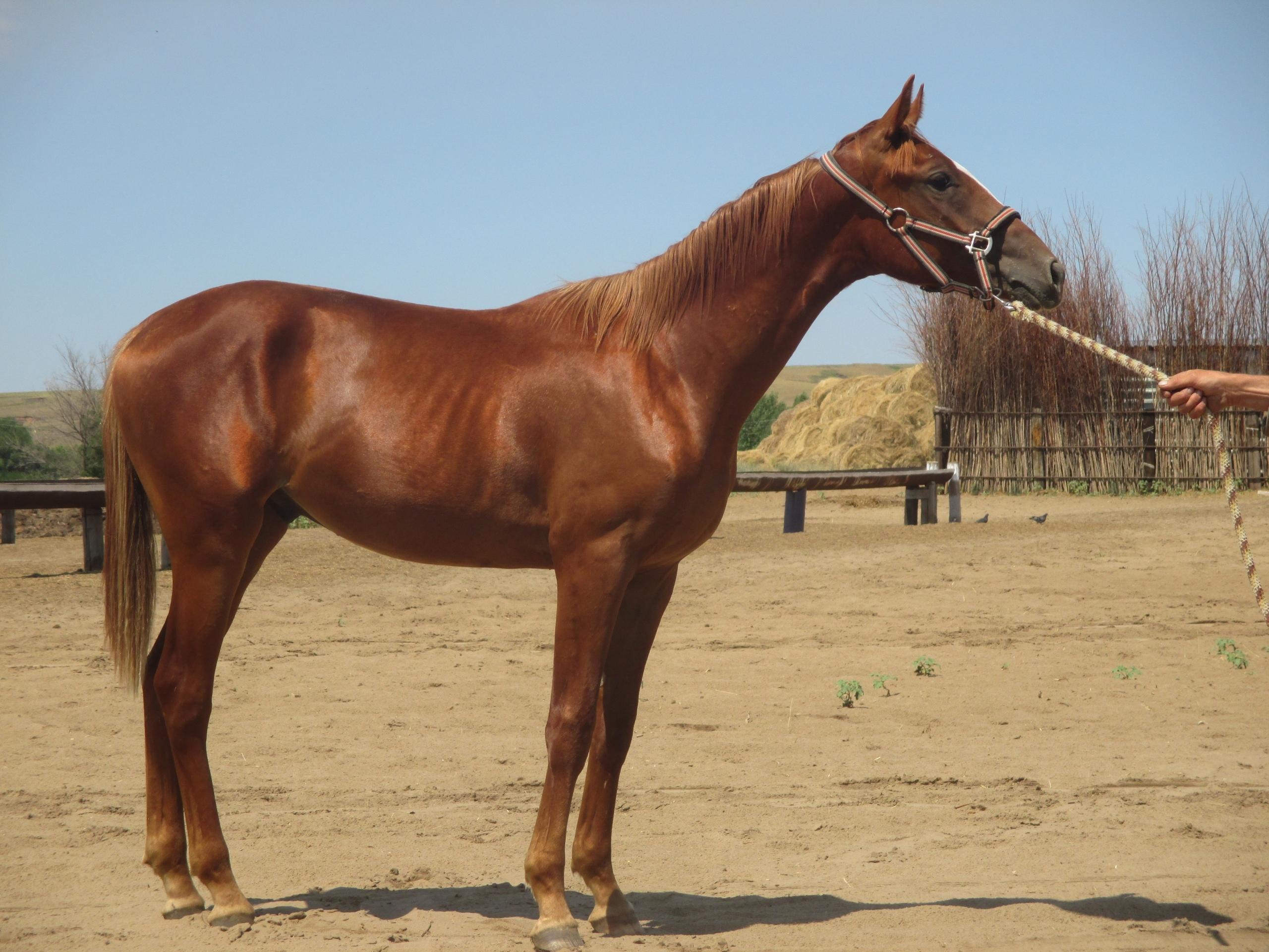 Донская порода лошадей: история, описание, фото и видео, характеристика, характер