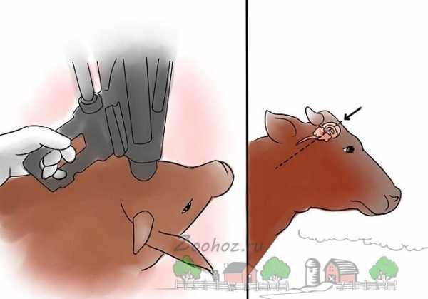 Способы убоя крупного рогатого скота в мире | россельхоз.рф