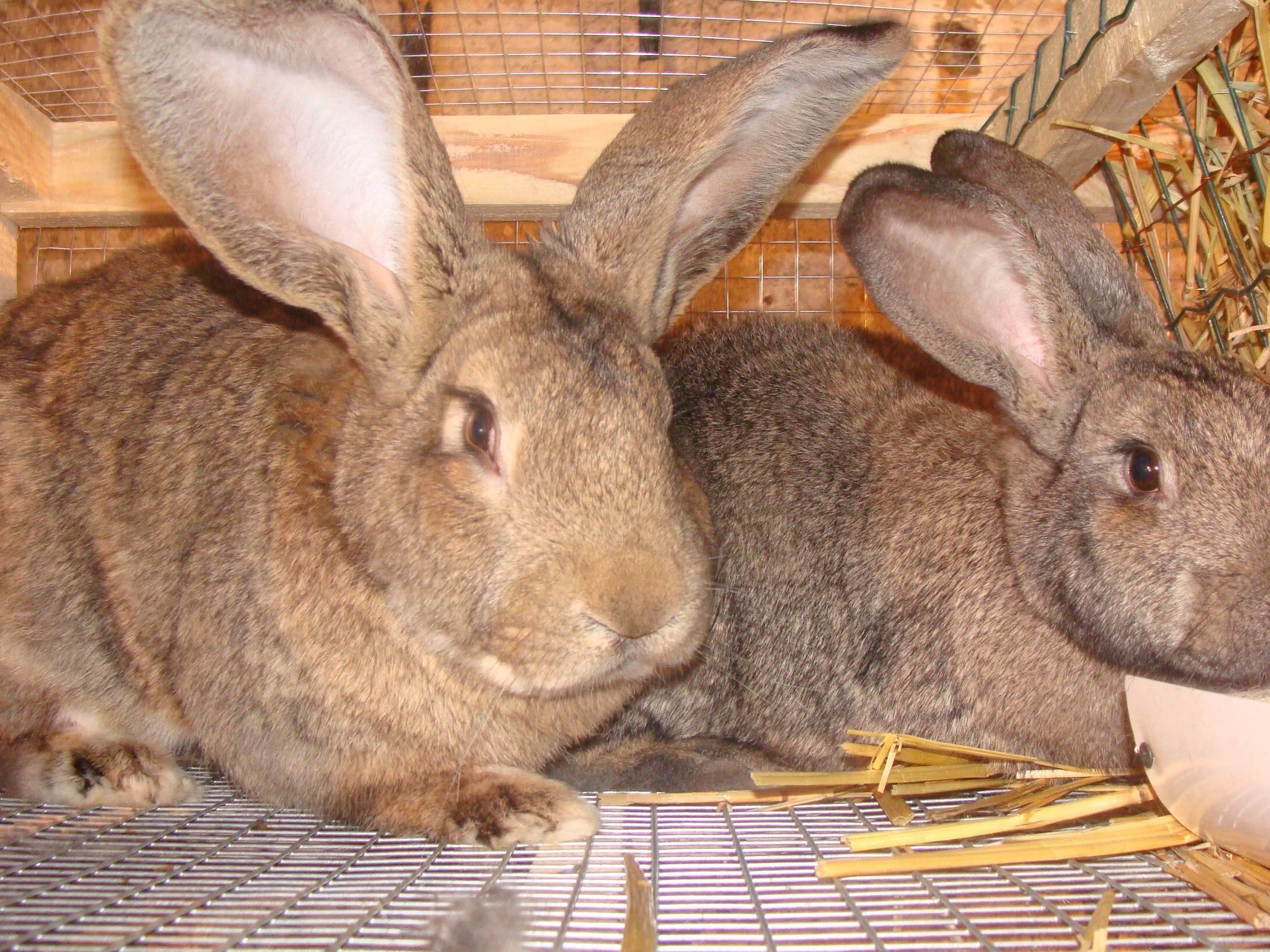 Обзор кроликов породы фландр, отзывы о них и фото