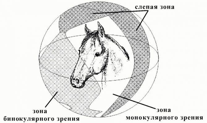 Зрение лошадей. особенности.