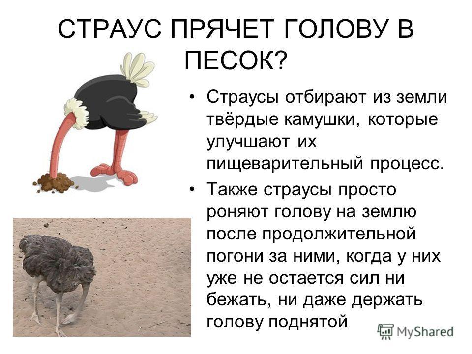 Почему страус прячет голову в песок: делает ли он это на самом деле, как ведёт себя в - дачнику и фермеру