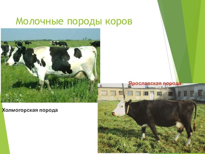 Холмогорская порода коров: характеристики и фото породы