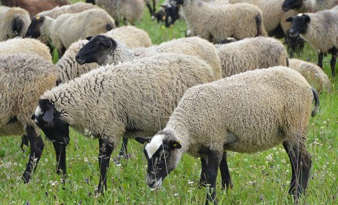 Романовская порода овец: содержание и разведение в домашних условиях, характеристика