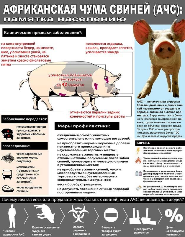 Африканская чума свиней - симптомы, лечение, меры борьбы