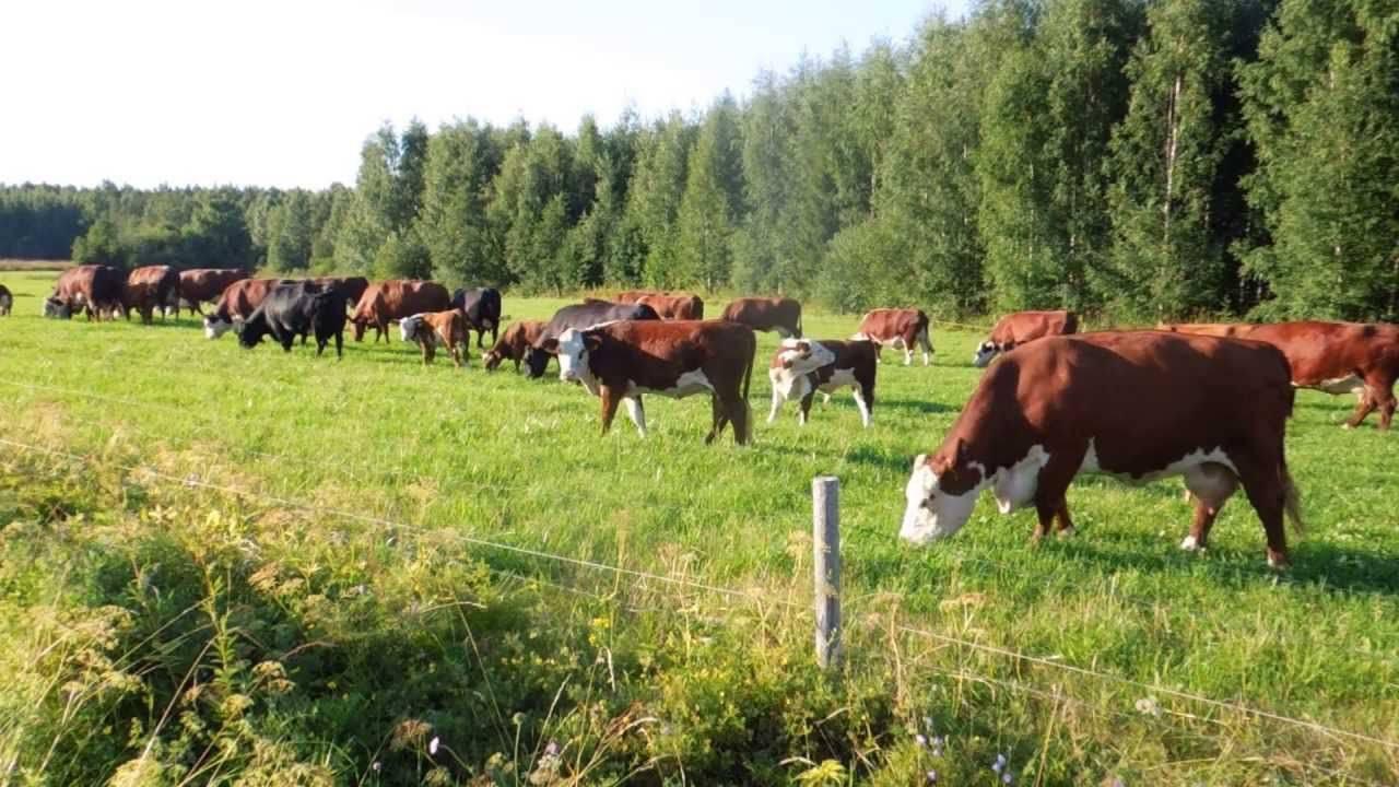 ✅ о крупном рогатом скоте (биологические и хозяйственные особенности крс) - tehnomir32.ru