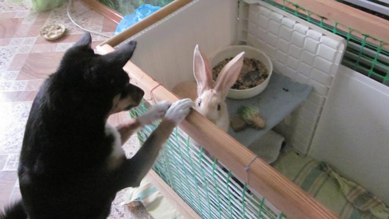 Почему и что делать, если крольчиха разбрасывает крольчат сразу после окрола