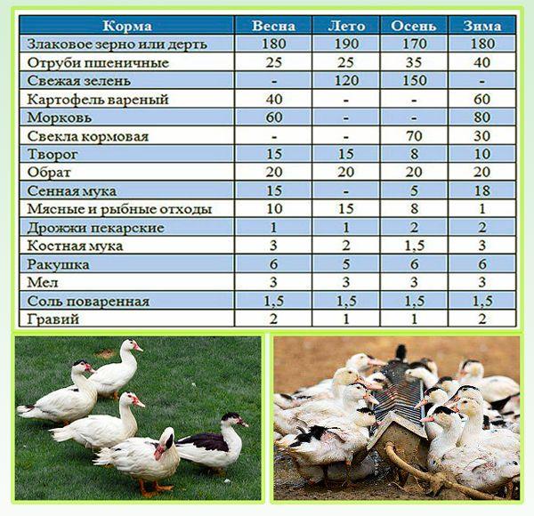 Домашние муларды на даче – выращивание и разведение уток на мясо ? | курочка | яндекс дзен
