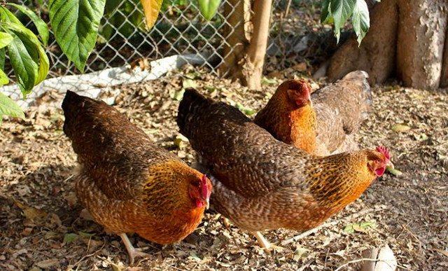 Билефельдер порода кур: описание и правила содержания!