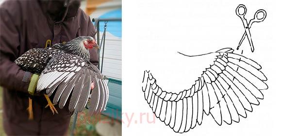 Как обрезать крылья курам и петухам, чтобы не перелетали через забор