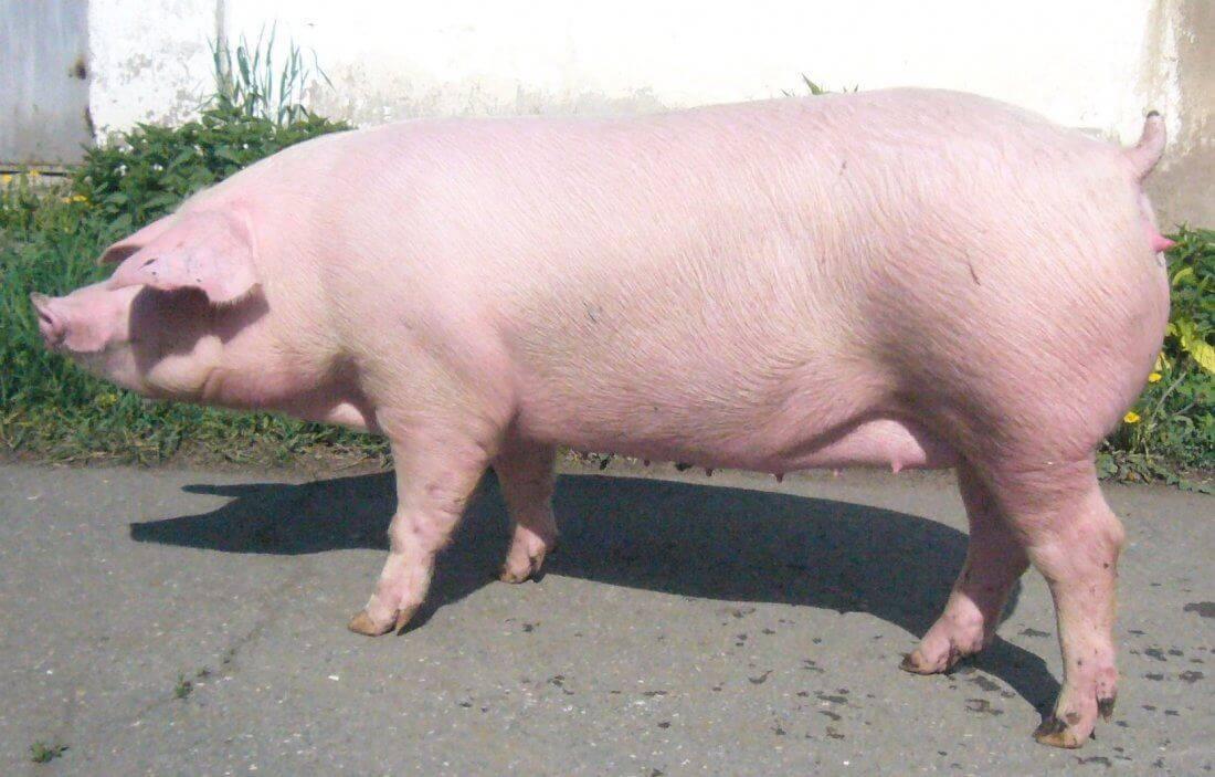 Ландрас порода свиней: характеристика, фото, особенности содержания и разведения