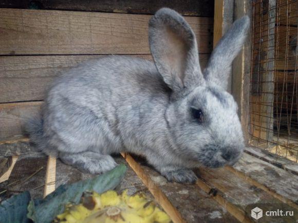 Кролики серебро: описание серебристой породы домашних животных