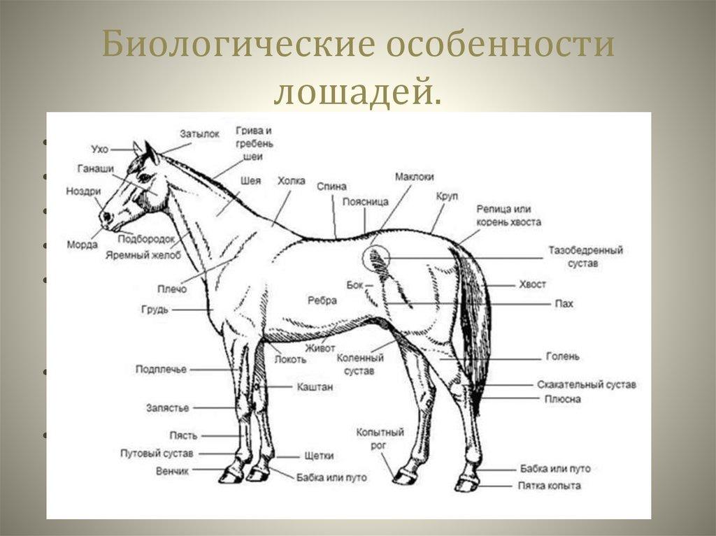 Стати и экстерьер лошади
