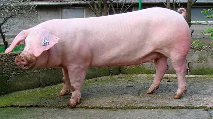 Характеристика свиней породы ландрас