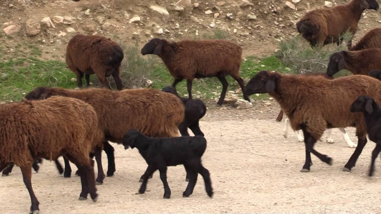 Гиссарская овца - описание породы, разведение, выращивание, фото и видео | россельхоз.рф