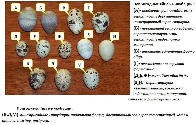 Выращиваем птиц правильно — инкубация павлиньих яиц
