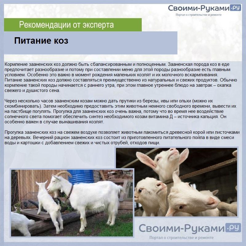 Зааненские козы: описание породы, содержание, уход, цена, фото