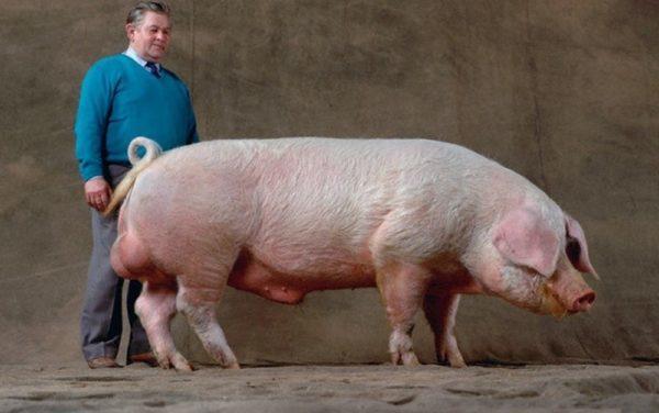 Порода свиней ландрас: фото, описание и советы по кормлению