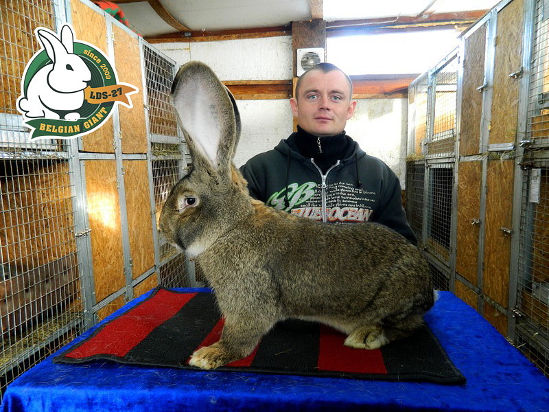 Порода бельгийский фландр: правила ухода и разведения кроликов