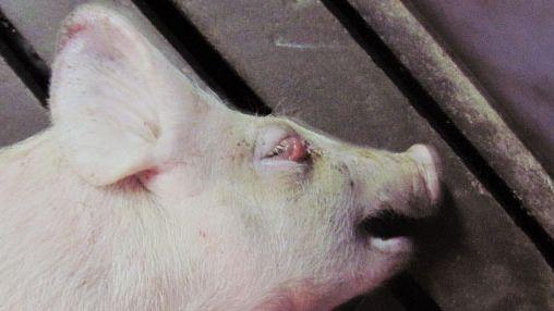 ᐉ болезни свиней: виды заболеваний, симптомы, лечение - zooon.ru
